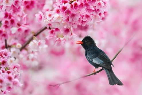Обои Скворец на фоне цветущего дерева