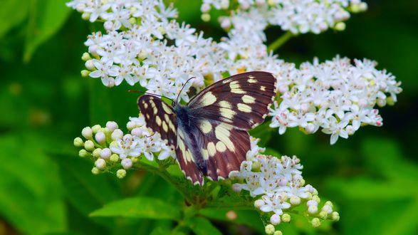 Обои Пестрая бабочка сидит на белых мелких цветах