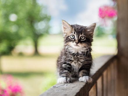 Обои Серый пушистый котенок сидит на деревянных перилах веранды