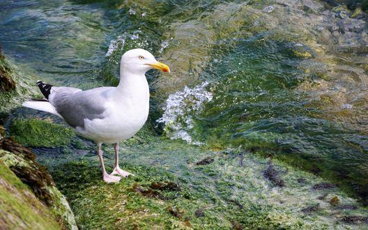 Обои Чайка сидит на берегу моря на камне, покрытом водорослями, рядом набегающая волна