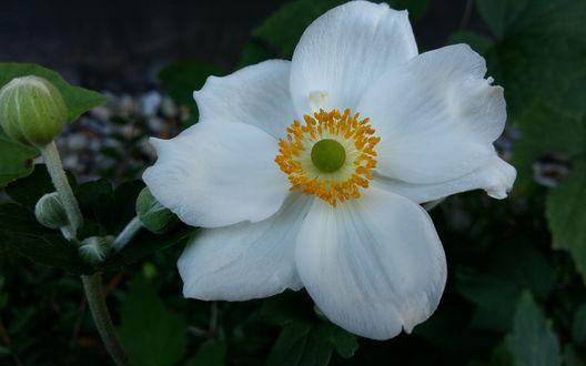 Обои Белый цветок анемона на размытом фоне