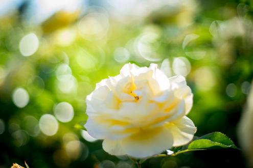 Обои Роза на фоне бликов