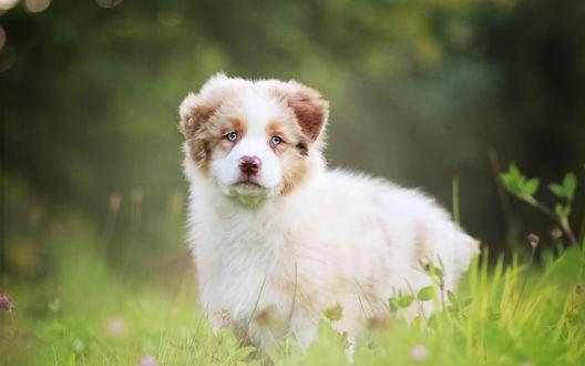 Обои Красивый щенок австралийской овчарки стоит в траве на размытом фоне