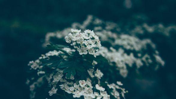Обои Маленькие белые цветы крупным планом