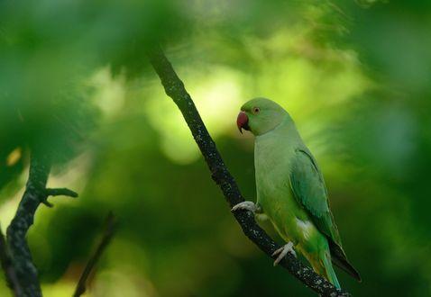 Обои Зеленый попугайчик на ветке, размытый фон
