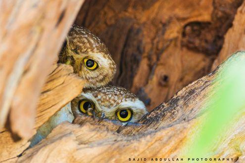 Обои Две совы выглядывают из дупла, фотограф Sajid Abdullah