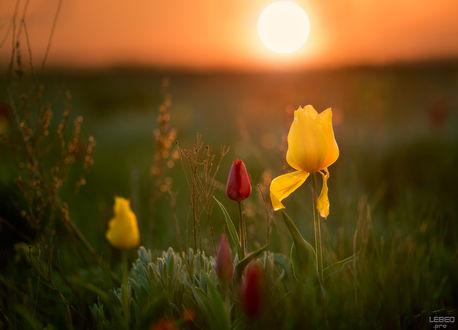 Обои Тюльпаны в поле, фотограф Victor Lebed lebed. pro