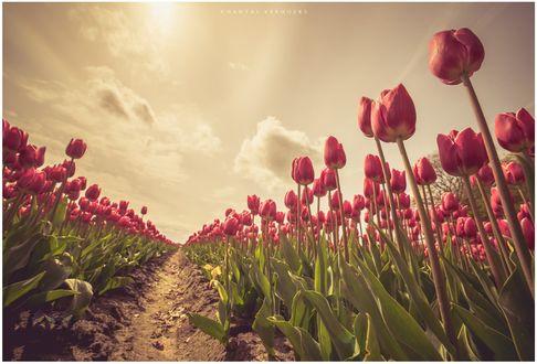 Обои Голландские розовые тюльпаны, фотограф Chantal Verhoeks