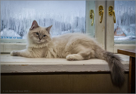 Обои Белый пушистый кот лежит на окне
