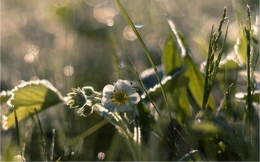 Обои Цветок лесной клубники среди травы, освещенный солнцем, фотограф Николай Шахманцир