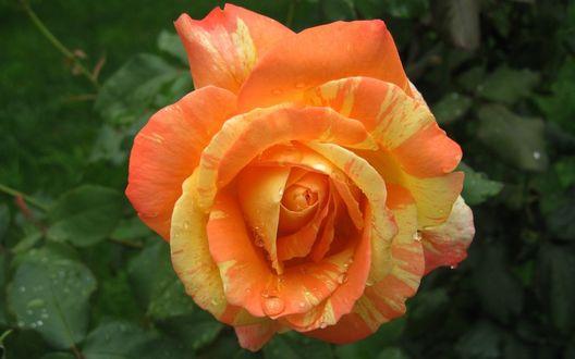 Обои Красивая оранжево - желтая роза в каплях росы