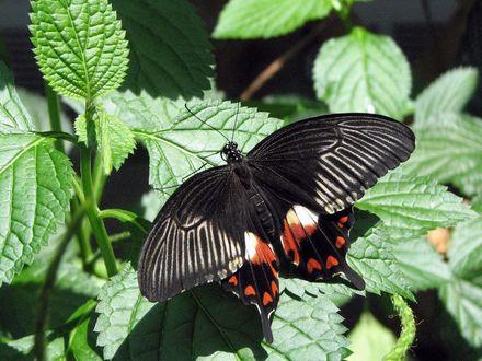 Обои Красивая красно-черная бабочка сидит на листьях, освещенных солнцем