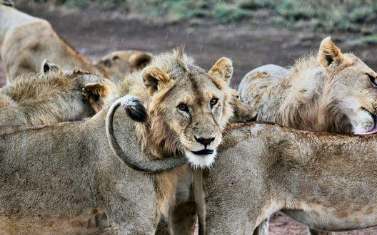 Обои Стайка львов, собравшихся вместе