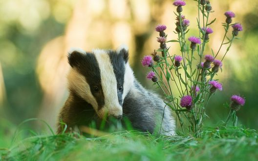 Обои Барсук сидит в траве возле розовых цветов серпухи на размытом фоне