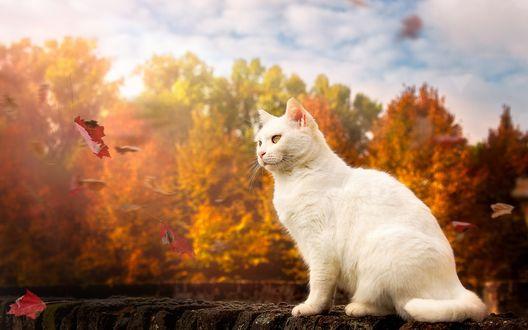 Обои Белый кот смотрит на падающий осенний лист