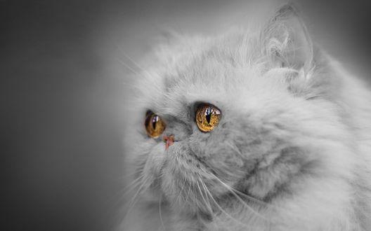 Обои Кошка с карими глазами в профиль