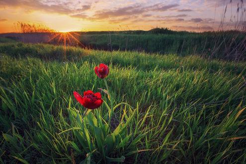 Обои Красные тюльпаны среди зеленой травы, фотограф Костенко Александр