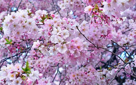 Обои Цветущее дерево сакуры