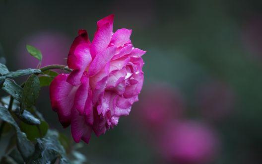 Обои Ярко-розовая роза в капельках росы на размытом фоне