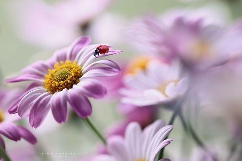 Обои Божья коровка на цветке, фотограф Rina Barbieri