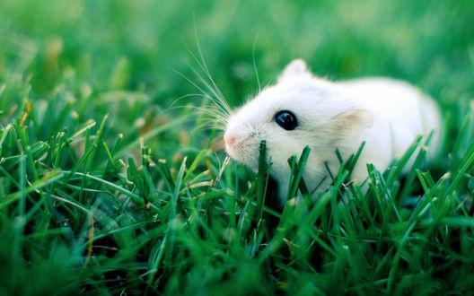 Обои Белый мышонок сидит в траве