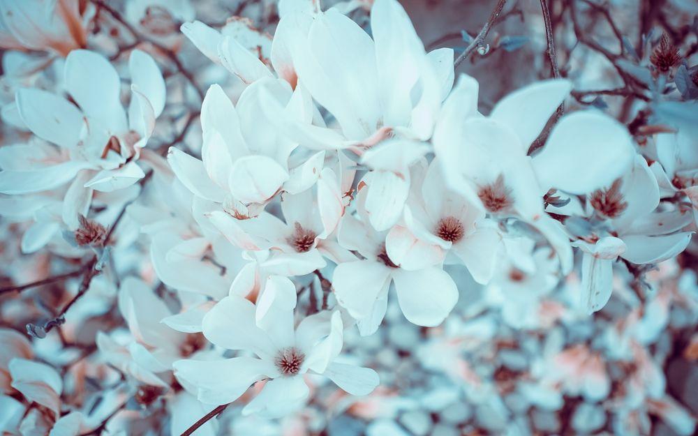 Фото сакуры цветущей в   fotoktoru