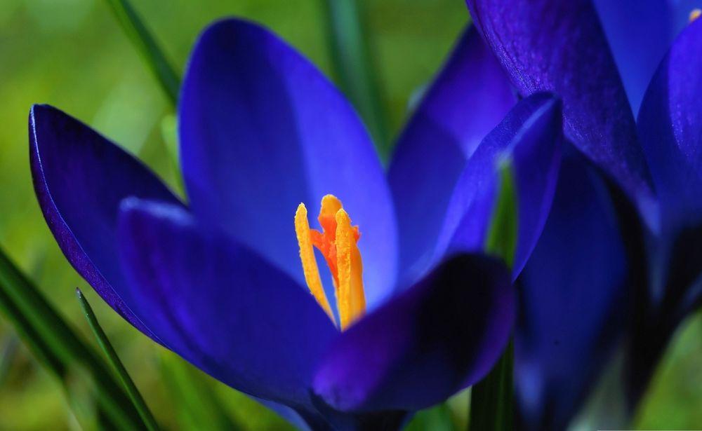 синие крокусы фото бывшая лоджия плавно