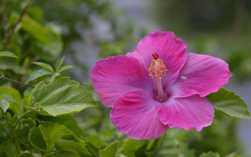 Обои для рабочего стола Розовый цветок гибискуса на размытом фоне