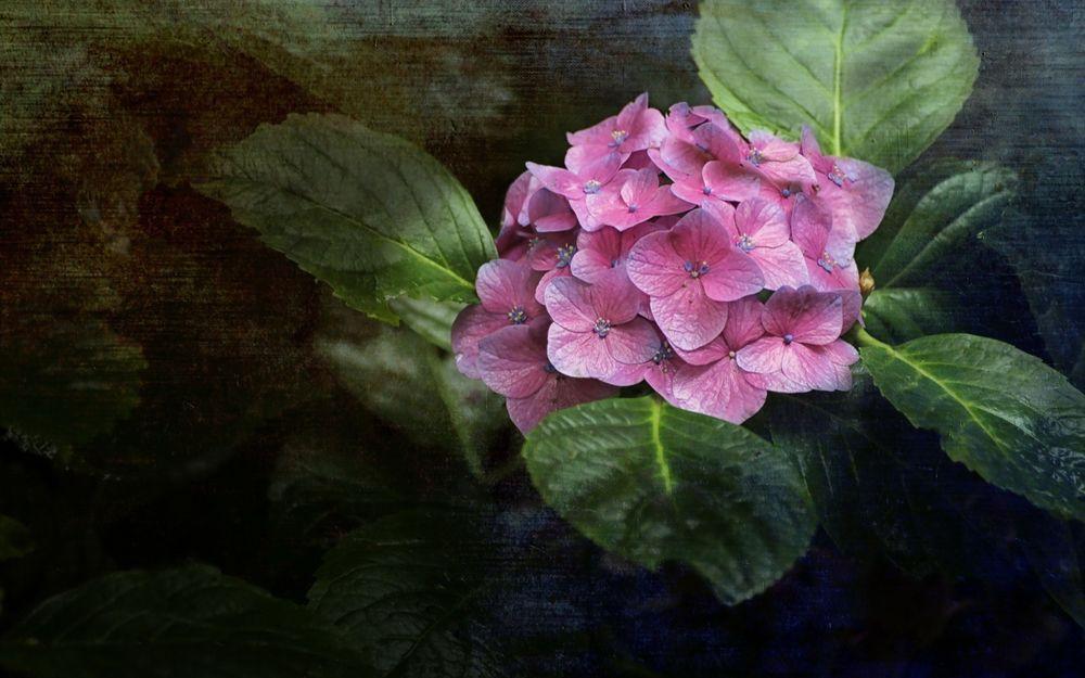 Обои для рабочего стола Розовое соцветие гортензии среди зеленых листьев