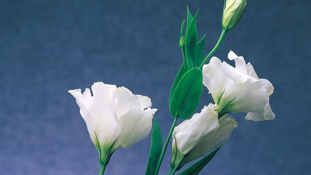 дом цветы эустома обои на рабочий стол нем