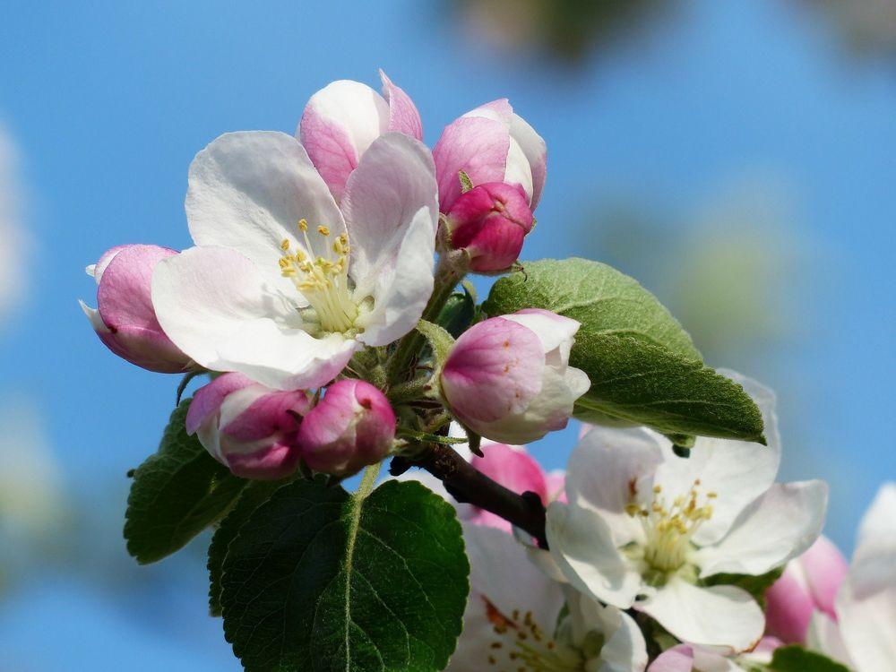 Картинки яблоневый цвет, надписями