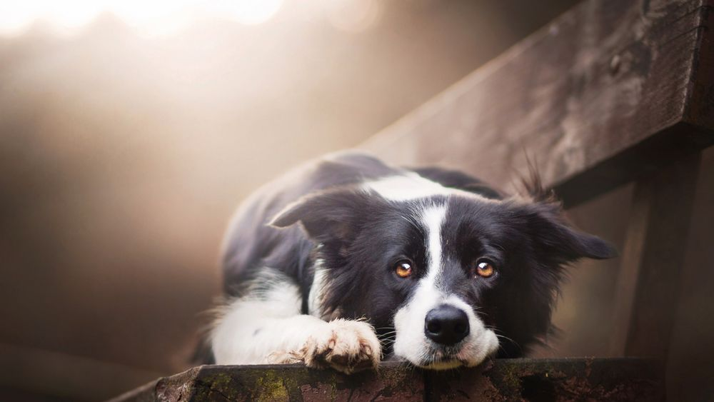 Обои для рабочего стола Грустный пес породы Бордер-колли лежит на скамейке