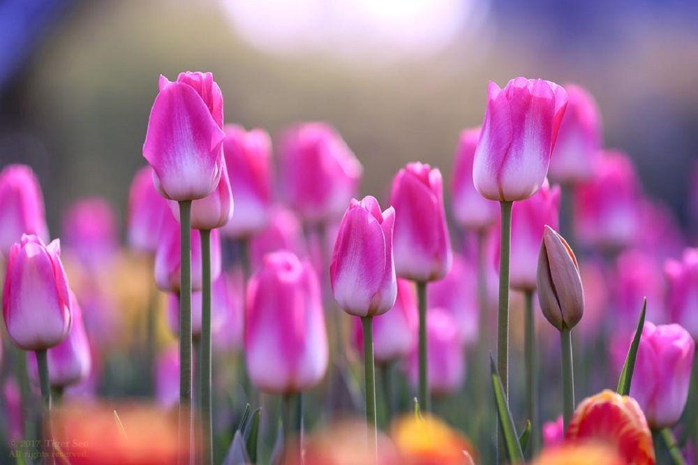 Обои для рабочего стола Розовые весенние тюльпаны, фотограф Tiger Seo