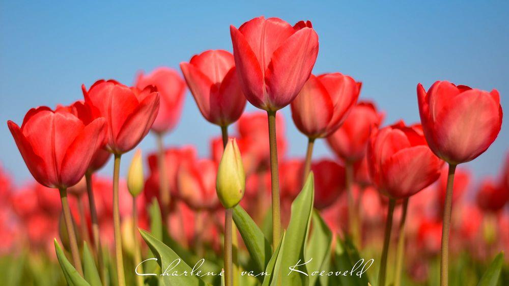 Обои для рабочего стола Красные тюльпаны, фотограф Charlene van Koesveld