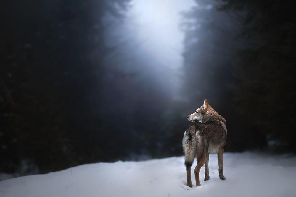 Обои для рабочего стола Волк стоит на снегу, фотограф Alicja Zmysłowska