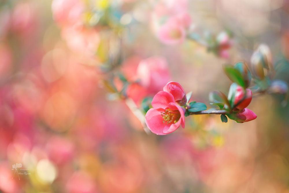 Обои для рабочего стола Весенняя цветущая веточка, фотограф Инна Сухова