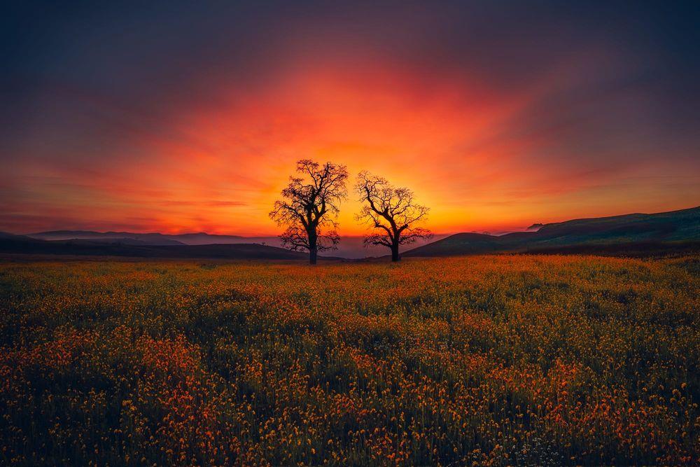Обои для рабочего стола Два дерева на поле с цветами на фоне огненного заката, фотограф Angela Chong