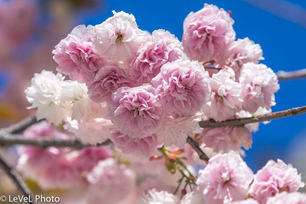 Обои для рабочего стола Весенние цветущие ветки, by LeVeL Photo