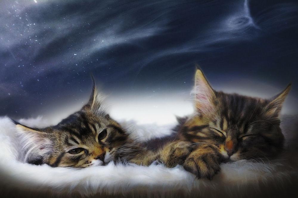Обои для рабочего стола Дремлющие полосатые, милые котята, by manu34