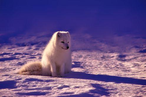 Обои Белый песец сидит на снегу, освещаемый солнцем
