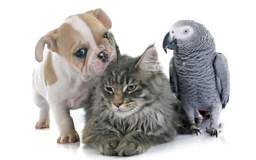 Обои Щенок бульдога, пушистый серый кот и серый попугай на белом фоне