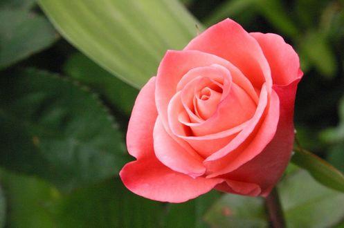 Обои Розовая роза на фоне зелени