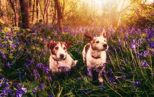Обои Две собаки среди сиреневых цветов