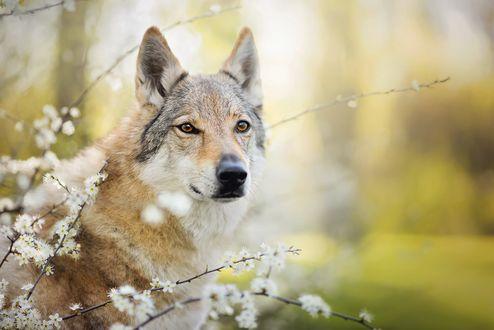 Обои Чехословацкий влчак среди цветущих веток