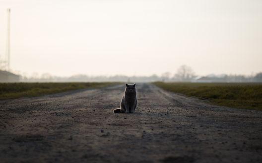 Обои Британский кот сидит в отдалении на проселочной дороге в пасмурную погоду