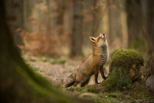 Обои Лисичка смотрит вверх, фотограф Norbert Liesz