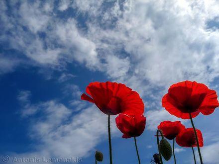 Обои Красные маки на фоне неба, фотограф Antonis Lemonakis