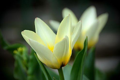 Обои Белые весенние тюльпаны, by Placi1