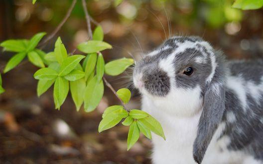 Обои Бело-серый кролик сидит возле веточки с зелеными листочками