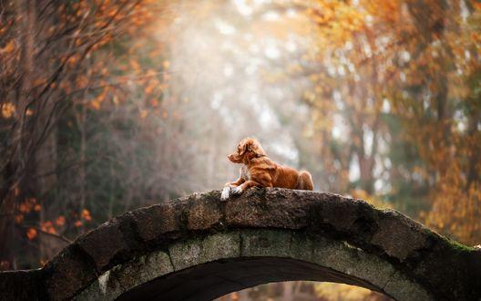 Обои Собака лежит на мосту в осеннем парке, фотограф Анна Аверьянова